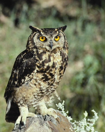 - Fig. 6: Eagle Owl